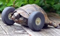 Kaplumbağanın Ön Ayaklarına Model Uçak Tekerleği Takıldı.