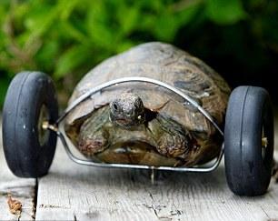 kaplumbağaya maket uçak tekerleği